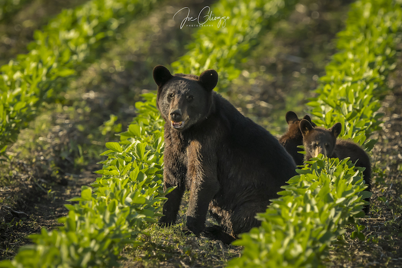 ON OUR FINAL DAY AT ALLIGATOR NATIONAL WILDLIFE REFUGE WE FOUND THIS BLACK BEAR SOW & HER THREE CUBS IN THE SOYBEAN FIELD. IMAGE: JOE GLIOZZO