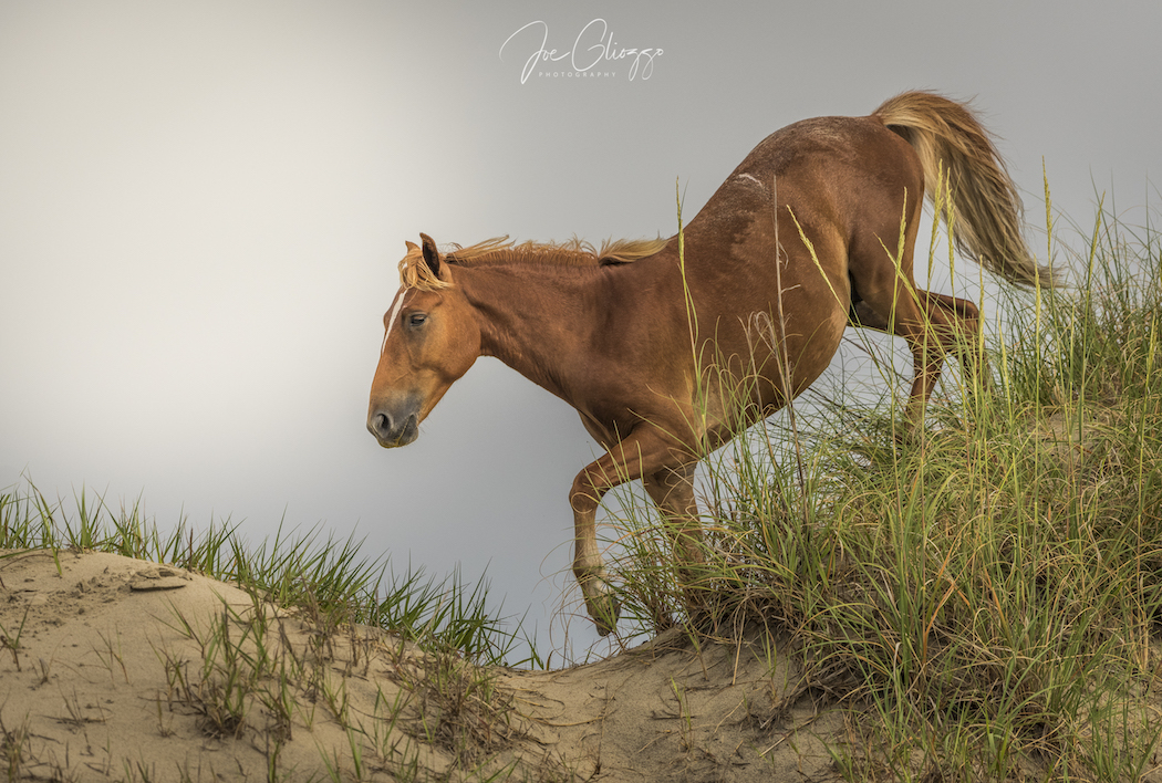 WATCHING THE WILD HORSES GRAZE AND PLAY WAS AN INCREDIBLE EXPERIENCE. DON'T MISS THE NORTH CAROLINA'S OUTER BANKS. IMAGE: JOE GLIOZZO