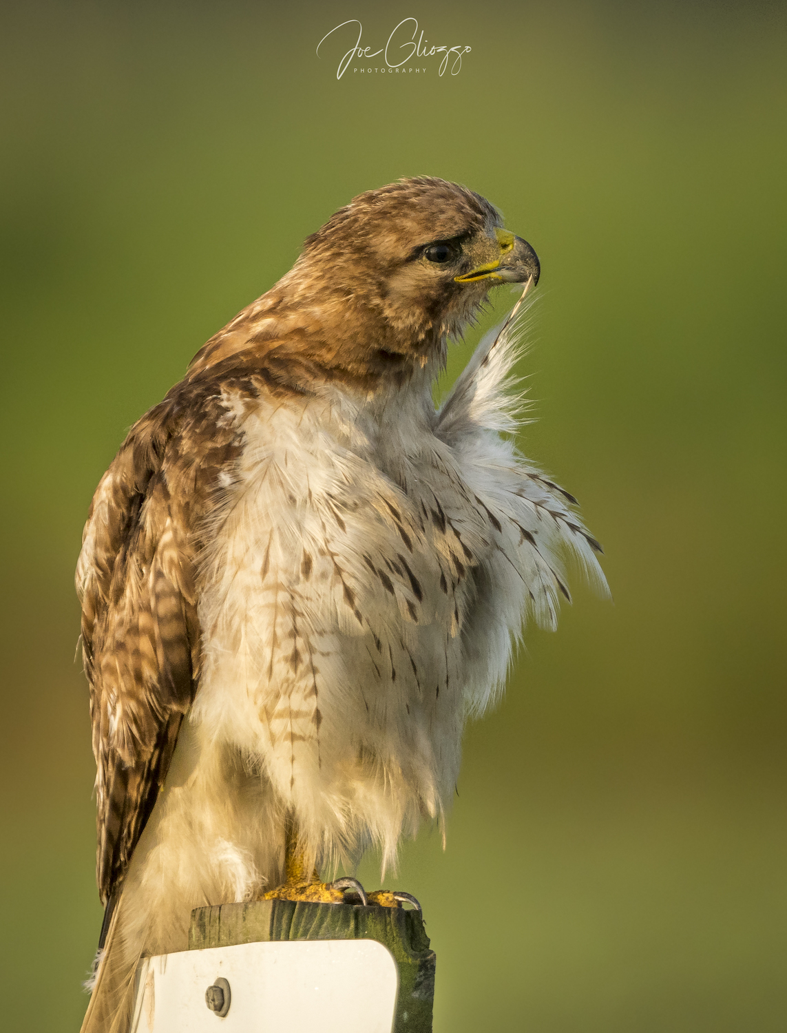 RED TAILED HAWK, ONE OF 145 RESIDENT & MIGRATORY BIRD SPECIES IN ALLIGATOR NATIONAL WILDLIFE REFUGE. IMAGE: JOE GLIOZZO