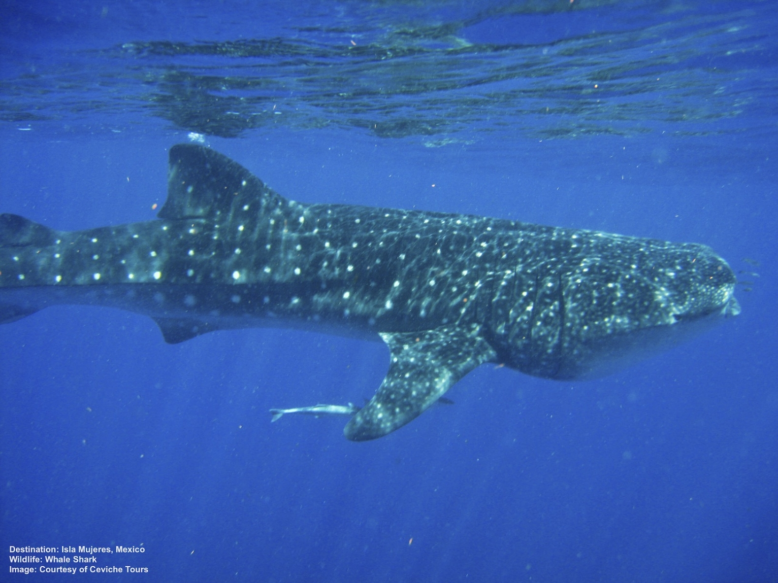 Escape Winter! Swim with Whale Sharks
