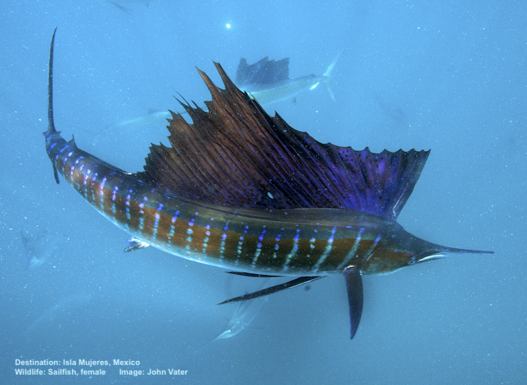 SWIMMING WITH SAILFISH IS ALSO GREAT FUN. THE FASTEST SWIMMER IN THE OCEAN REACHES SPEEDS OF 68MPH (110KPH), BUT SAILFISH ARE IN RAPID DECLINE. STILL HIGHLY PRIZED BY SPORT FISHERMAN, THIS IS A CATCH AND RELEASE SPECIES FOR CEVICHE TOURS CLIENTS. BIODEGRADABLE, DISSOLVING HOOKS ARE USED. IMAGE: JOHN VATER, CEVICHE TOURS