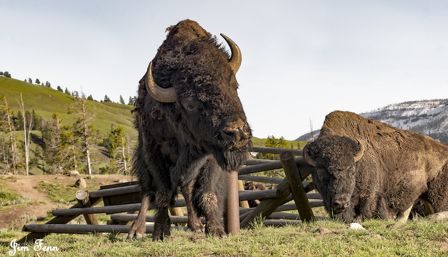 WE WATCHED INCREDIBLY POWERFUL AMERICAN BISON IN YELLOWSTONE NATIONAL PARK, DESTROY THESE FENCES BY INNOCENTLY USING THEM AS SCRATCHING POSTS. IMAGE: ©JIM FENNESSY