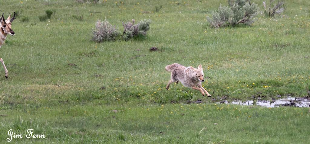 coyote jump-6892.jpg