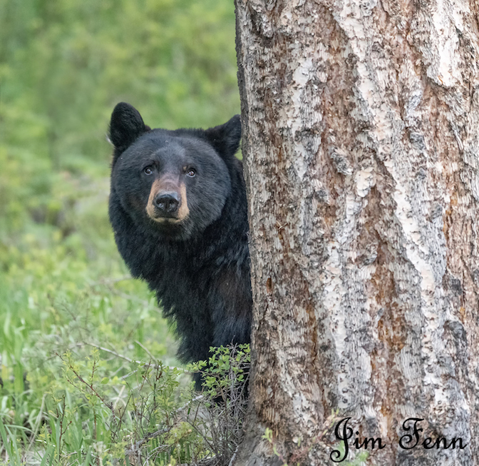 Black bear. Yellowstone National Park, Wyoming