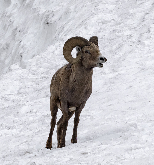 I SWITCHED TO LIGHTER (CAMERA) GEAR TO HIKE UP YELLOWSTONE'S MOUNTAINS FOR BIG HORN SHEEP IN DEEP SNOW. IMAGE: ©JIM FENNESSY