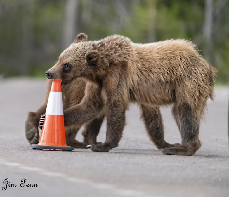 NEW CUB FROM THE FAMOUS 22-YEAR OLD GRIZZLY #399 IN THE GRAND TETON NATIONAL PARK. IMAGE: JIM FENNESSY
