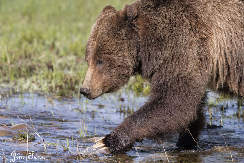 "GRIZZLY MOM CROSSING A STREAM IN THE GRAND TETON NATIONAL PARK, WYOMING. NOTE THE ""DENT"" IN HER FOREHEAD - BLACK BEARS DO NOT HAVE IT. IMAGE: JIM FENNESSY"