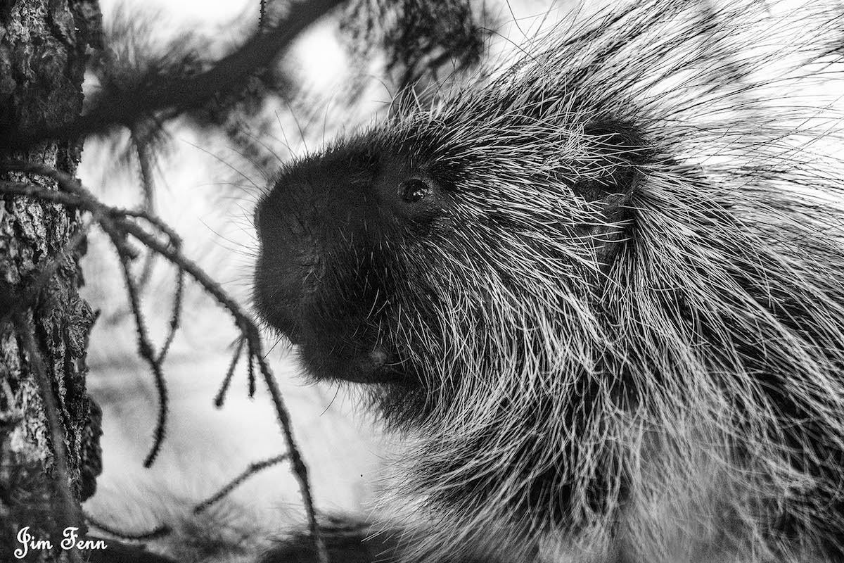 CLOSE-UP OF A PORCUPINE IN GRAND TETON NATIONAL PARK. TAKING THE IMAGE IN BALCK & WHILE ALLOWED FOR A BETTER IMAGE AS THE HEMLOCK TREE GAVE TOO MUCH GREEN CONCEALMENT FOR A DECENT IMAGE. IMAGE: JIM FENNESSY