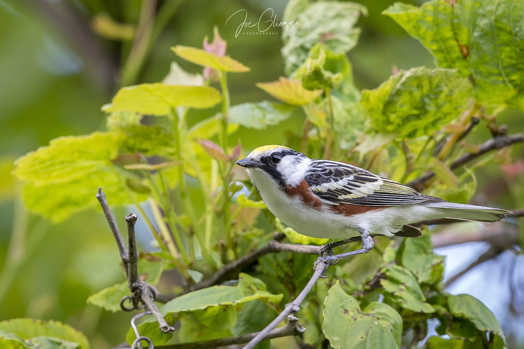 MY FRIEND AND I DECIDED TO HEAD TO STERLING FOREST, AN HOUR OR SO NORTH OF NEW YORK CITY TO PHOTOGRAPH THE LAST OF THE SPRING MIGRATING WARBLERS. WE WERE IN FOR A SURPRISE. IMAGE: ©JOE GLIOZZO