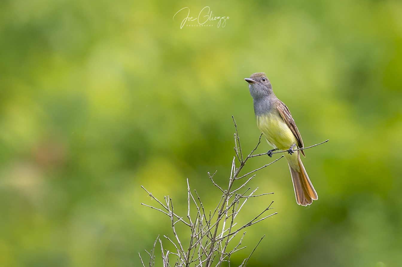 """THE GREAT CRESTED FLYCATCHER IS ONE OF THE SPECIES OUR """"INTEL"""" SUGGESTED THAT WE WOULD FIND. WE DID! IMAGE: JOE GLIOZZO"""