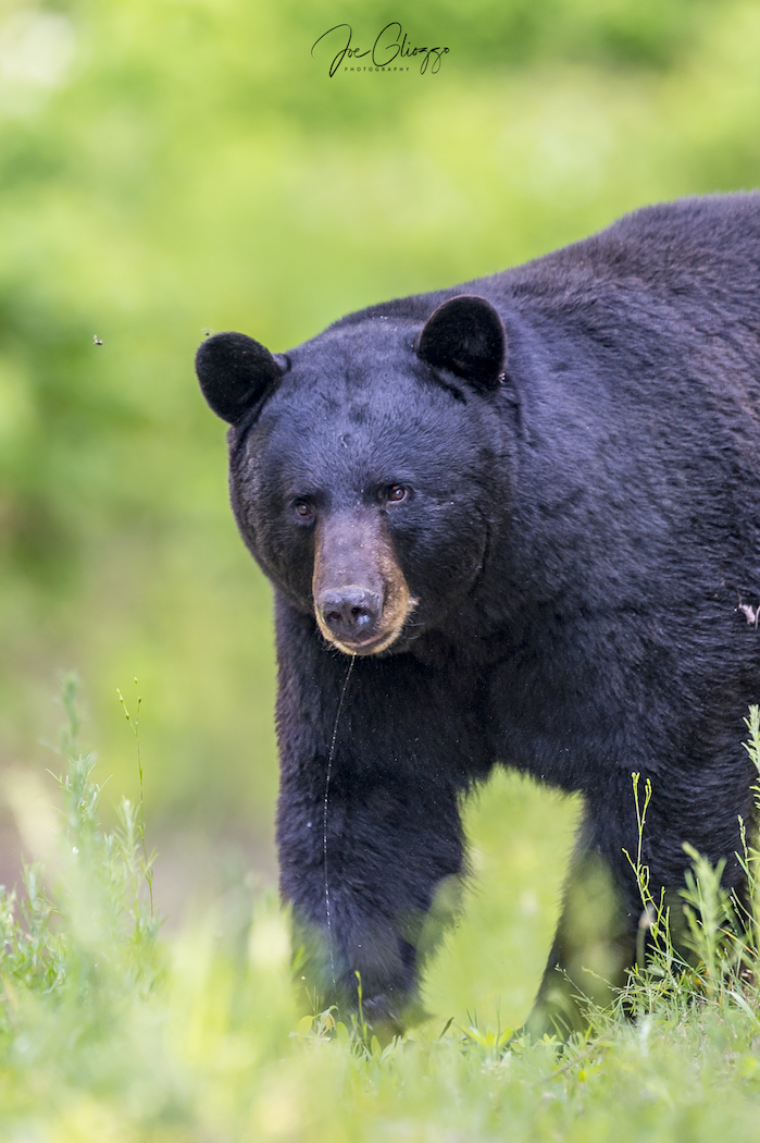 THE BLACK BEAR TOOK ONE LOOK AT US AND RAN LIKE A SCARED PUPPY. THEN IT TOOK  US  THREE HOURS TO SETTLE DOWN! IMAGE: ©JOE GLIOZZO