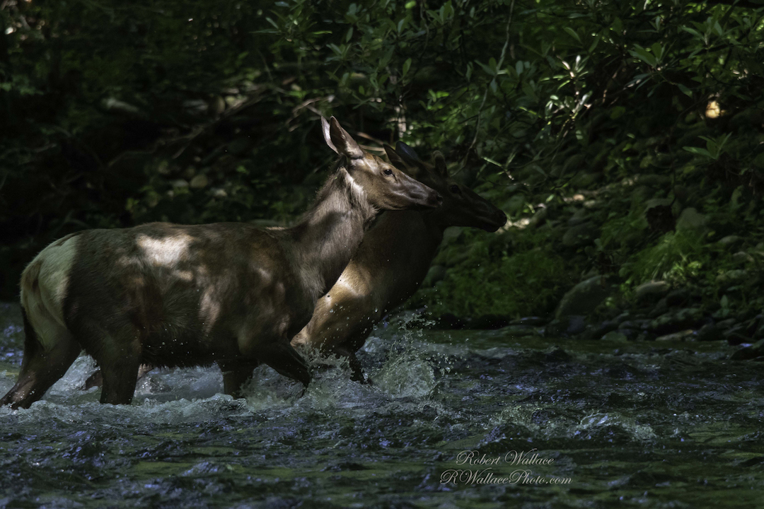 THIS PAIR OF MANTOBAN ELK WAS MOVING QUICKLY THROUGH THE WATER, I GOT MY CAMERA UP AND HOPED FOR THE BEST. IMAGE: ©ROBERT WALLACE IN GREAT SMOKIES NATIONAL PARK