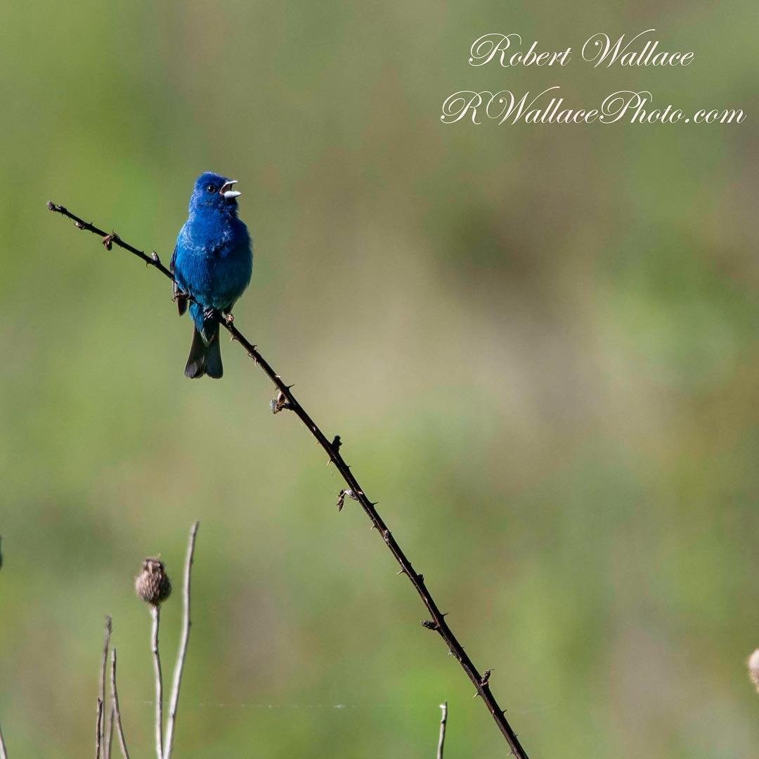 GREAT SMOKY NATIONAL PARK IS A GREAT PLACE FOR BIRDWATCHING TOO. THIS IS AN INDIGO BUNTING. IMAGE: ROBERT WALLACE