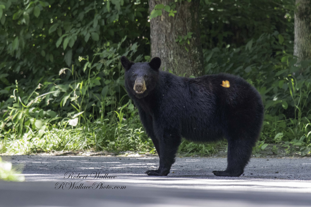 THE OTHER TWO PHOTOGRAPHERS DID NOT SEE THE HUGE BLACK BEAR COMING UP BEHIND ME. CADE'S COVE, GREAT SMOKY MOUNTAINS NATIONAL PARK. IMAGE: ROBERT WALLACE