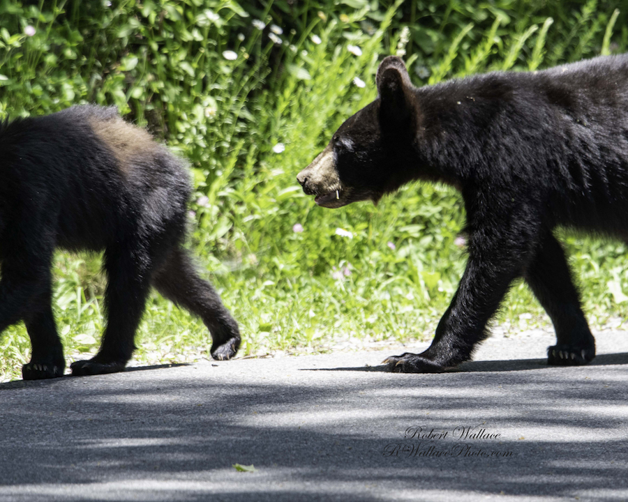 WHY DID THE BLACK BEAR MOTHER AND CUBS CROSS THE ROAD? MAYBE FOR A GOOD PHOTO OP? CADE'S COVE. IMAGE: ROBERT WALLACE