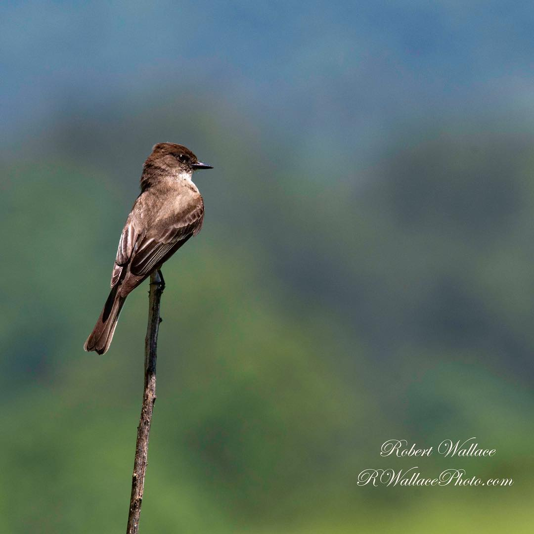 240 BIRD SPECIES (NATIONAL PARK SERVICE) CAN BE FOUND IN THE GREAT SMOKY NATIONAL PARK INCLUDING THIS EASTERN PHOEBE IMAGE: ©ROBERT WALLACE