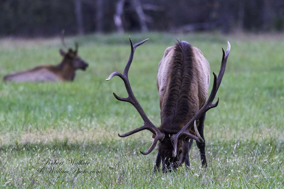 THE ELK RESIDING IN GREAT SMOKY NATIONAL PARK HAVE BEEN REINTRODUCED AFTER BEING HUNTED TO EXTINCTION IN THE REGION. IMAGE: ROBERT WALLACE