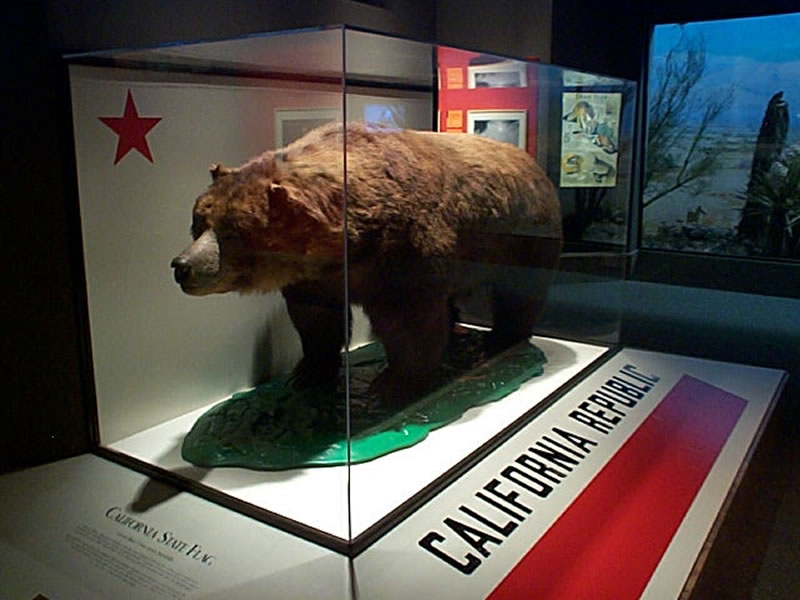 """EXTINCT SINCE 1922. """"MONARCH"""" THE LAST CALIFORNIA GOLDEN BEAR ( URSUS ARCTOS CALIFORNICUS) , THE EMBLEM OF THE STATE FLAG , CAN NOW ONLY BE SEEN IN A GLASS BOX AT THE CALIFORNIA ACADEMY OF SCIENCES. IMAGE: """"PAYTON FROM CHICAGO"""""""