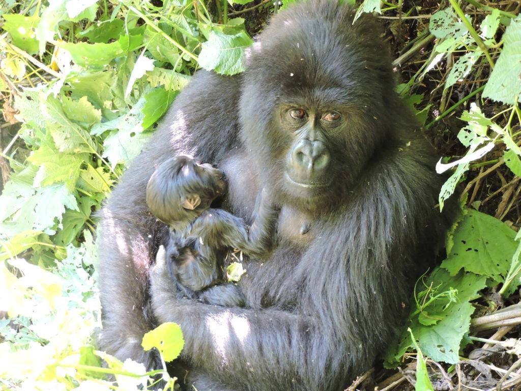 THERE IS GOOD NEWS TOO, AT VIRUNGA NATIONAL PARK IN THE DEMOCRATIC REPUBLIC OF CONGO, TWO NEW ENDANGERED MOUNTAIN GORILLAS WERE BORN. IMAGE: THANKS TO THE VIRUNGA FACEBOOK PAGE.