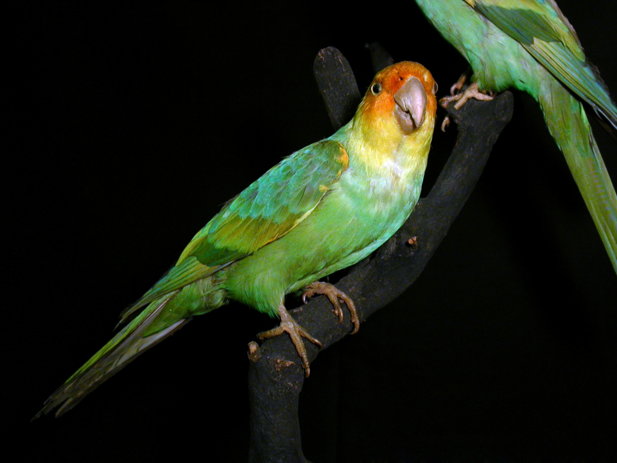 BEAUTIFUL AND GONE. THE CAROLINA PARROT ONCE FOUND FROM SOUTHERN NEW YORK TO THE GULF OF MEXICO AND WEST TO COLORADO. EXTINCT IN THE WILD BY 1910, IN 1918 THE LAST CAPTIVE BIRD DIED. THIS IS A STUFFED SPECIMEN IN MUSEUM WEISBADEN, GERMANY IMAGE: FRANZ GELLER-GRIMM