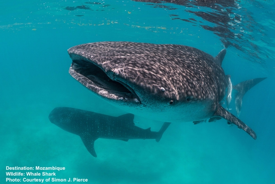 WHALE SHARK TOURISM IS CHANGING FISHING ECONOMIES INTO RESPONSIBLE TOURISM MECCAS. IN MOZAMBIQUE IT PROVIDES A BRIGHT LIGHT WHERE IT IS NEEDED MOST. IMAGE: SIMON J. PEIRCE MMF