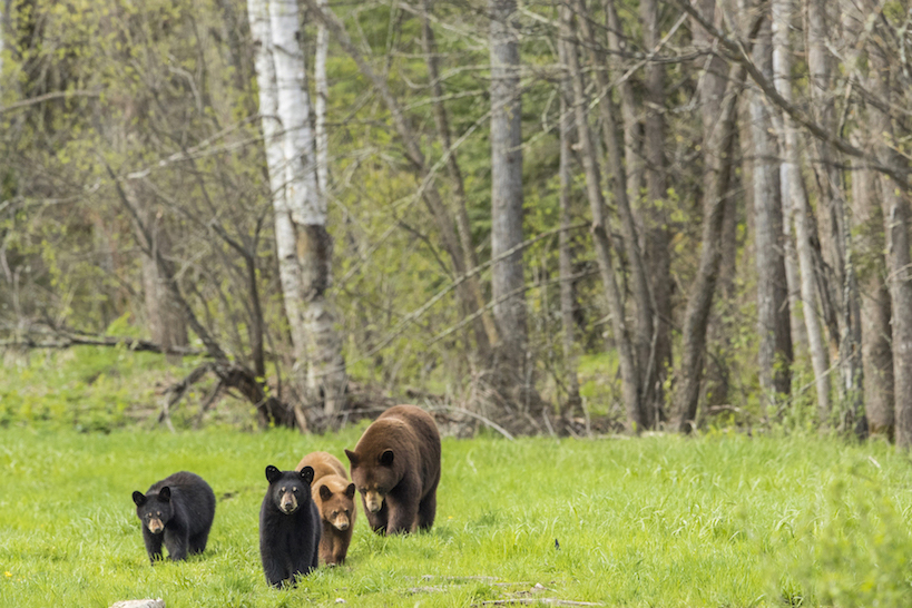BLACK BEARS ARE NOT ONLY BLACK. THEY ALSO COME IN BROWN, BLOND, CINNAMON, GREY, AND CREAMY WHITE (KNOWN AS THE SPIRIT BEAR) IMAGE: ©SCOTT DERE