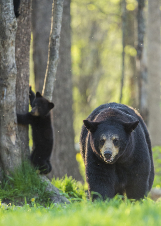 MOTHERS WITH CUBS CAN BE AGGRESSIVE AND DANGEROUS. REMEMBER THE RULES. IMAGE: ©SCOTT DERE