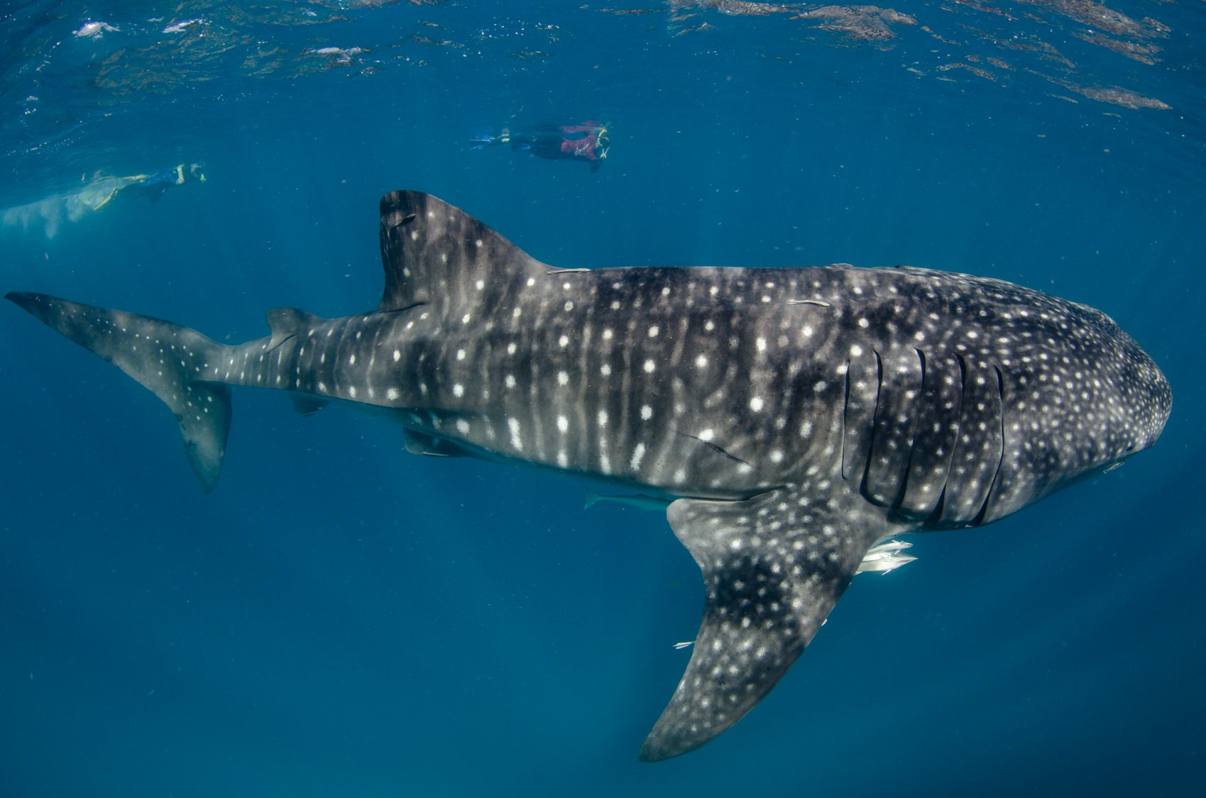 NINGALOO'S ECOCEAN LEAD WHALE SHARK RESEARCH AND INITIATED THE SYSTEM FOR WILDBOOK FOR WHALESHARKS. IMAGE: THANKS TO NINGALOO VISITOR CENTER FACEBOOK PAGE