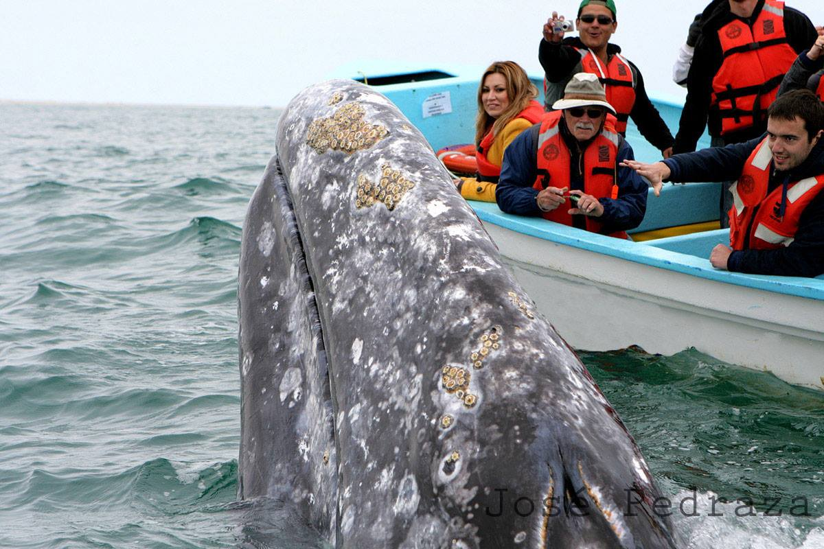 COMBINE WHALE SHARK SWIMMING WITH GREY WHALE WATCHING AND SEE TURTLE CONSERVATION IN LA PAZ. IMAGE: RED TRAVEL