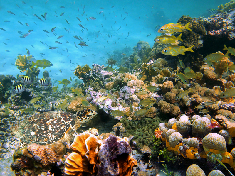 BELIZE BARRIER REEF SYSTEM, A UNESCO WORLD HERITAGE SITE IS THE ONLY PLACE KNOWN WHERE SNAPPER AGGREGATE TO SPAWN. IMAGE: ©SEAPHOTOART I DREAMSTIME.COM