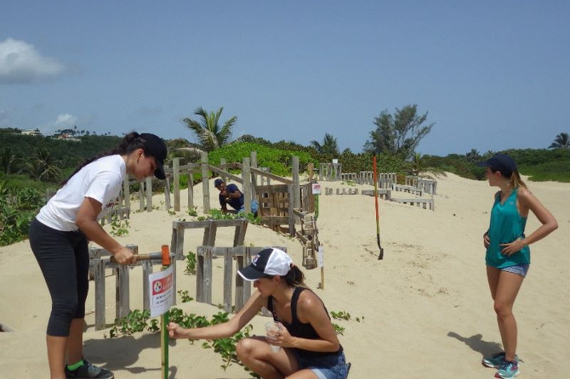 IN PUERTO RICO VOLUNTEERS HELP SEA TURTLES RECOVER FROM HURRICANE MARIA WORK. THANKS TO SEE TURTLE PARTNERS  VIDA MARINA UPR  FOR RESTORING BEACHES AND OTHER HABITAT. IMAGE: VIDA MARINA University of Puerto Rico.