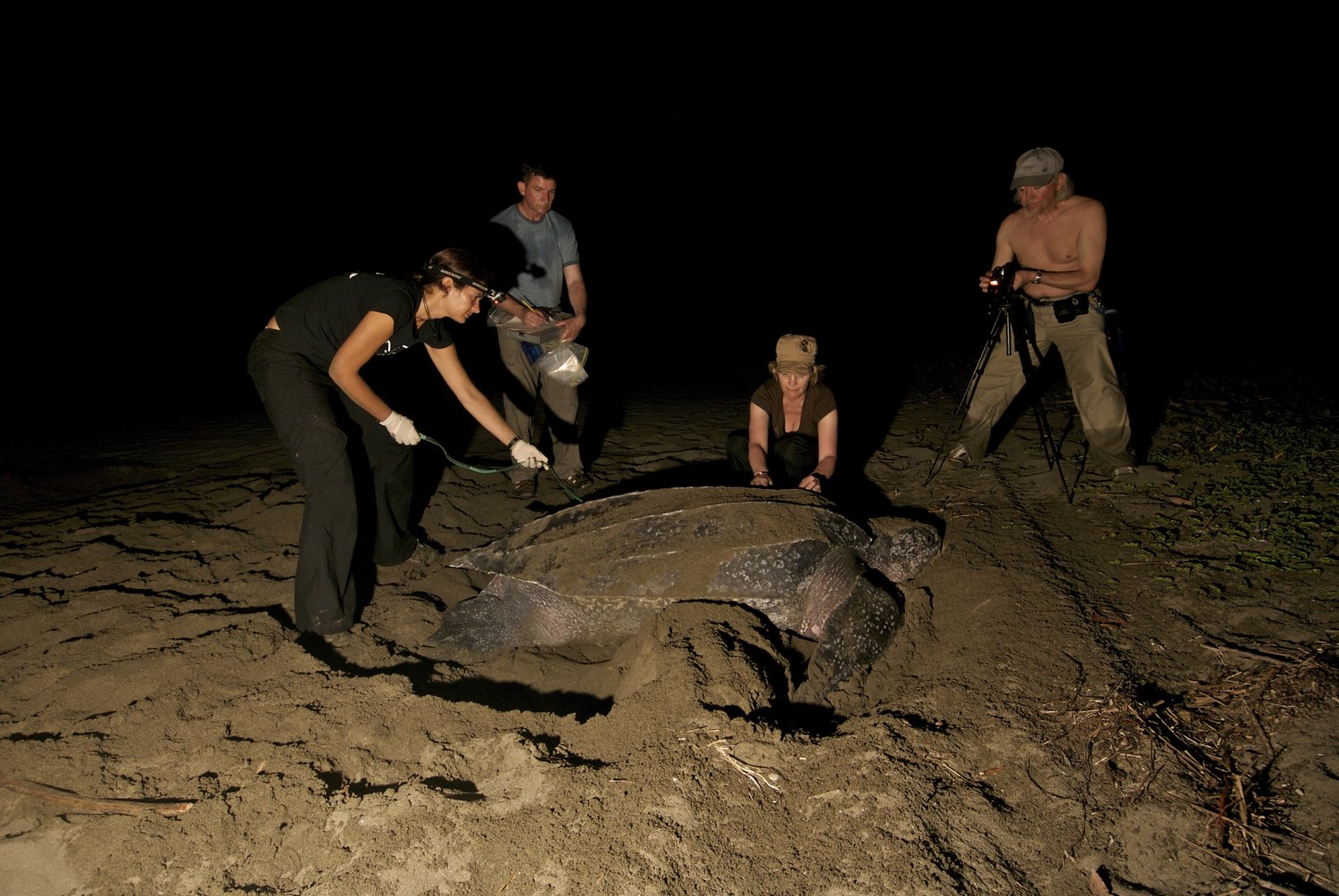 AS SHE LAYS HER EGGS, VOLUNTEERS TAKE THE MEASUREMENTS AND OTHER STATISTICS OF A LEATHERBACK TURTLE. IMAGE:  ©NEIL EVER OSBORNE , WILDLIFE & NATURE PHOTOGRAPHER