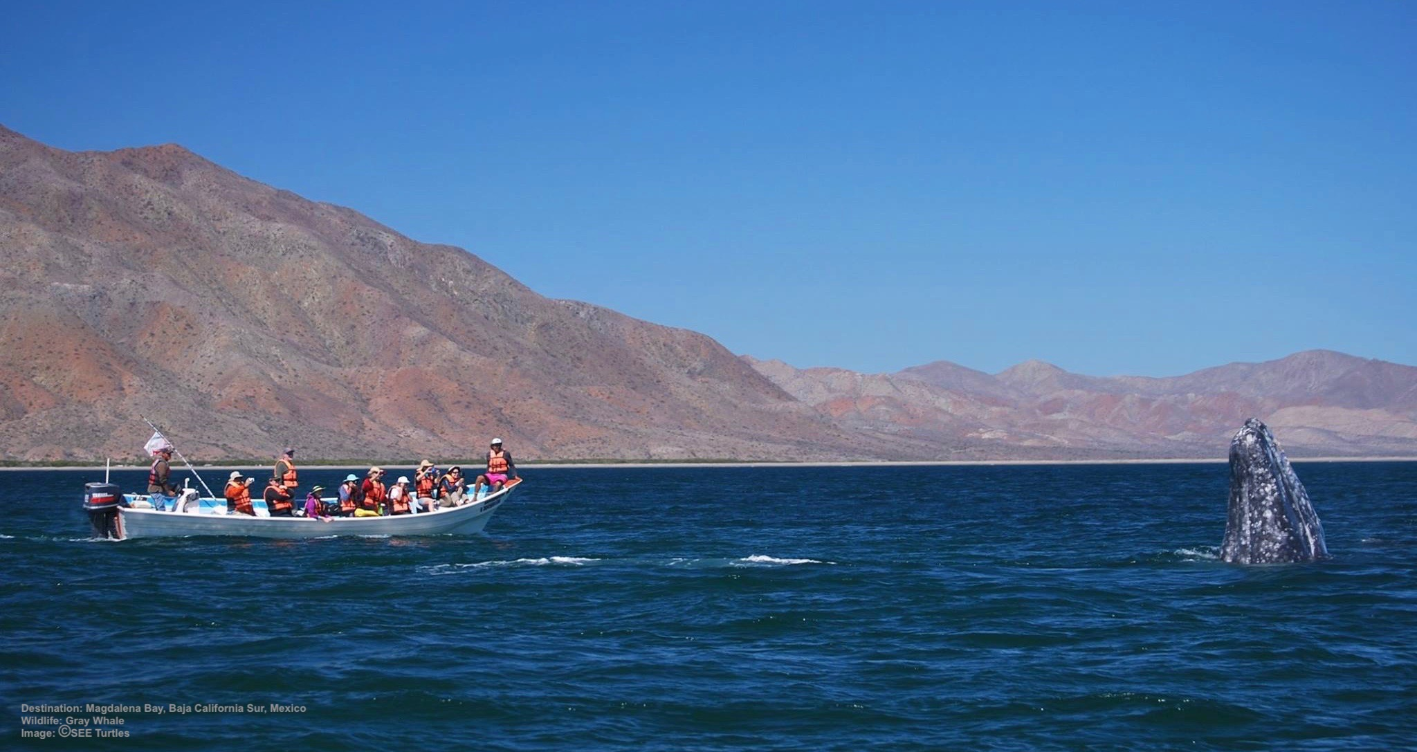 VOLUNTEERING WITH SEE TURTLES IS NOT ALL WORK! ON MAGADENA BAY AT BAJA CALIFORNIA SUR, MEXICO, PARTICIPANTS ALSO GO GRAY WHALES WATCHING, SWIMMING WITH WHALE SHARKS AND MORE. IMAGE: THANKS TO  RED Travel  & SEE TURTLES.
