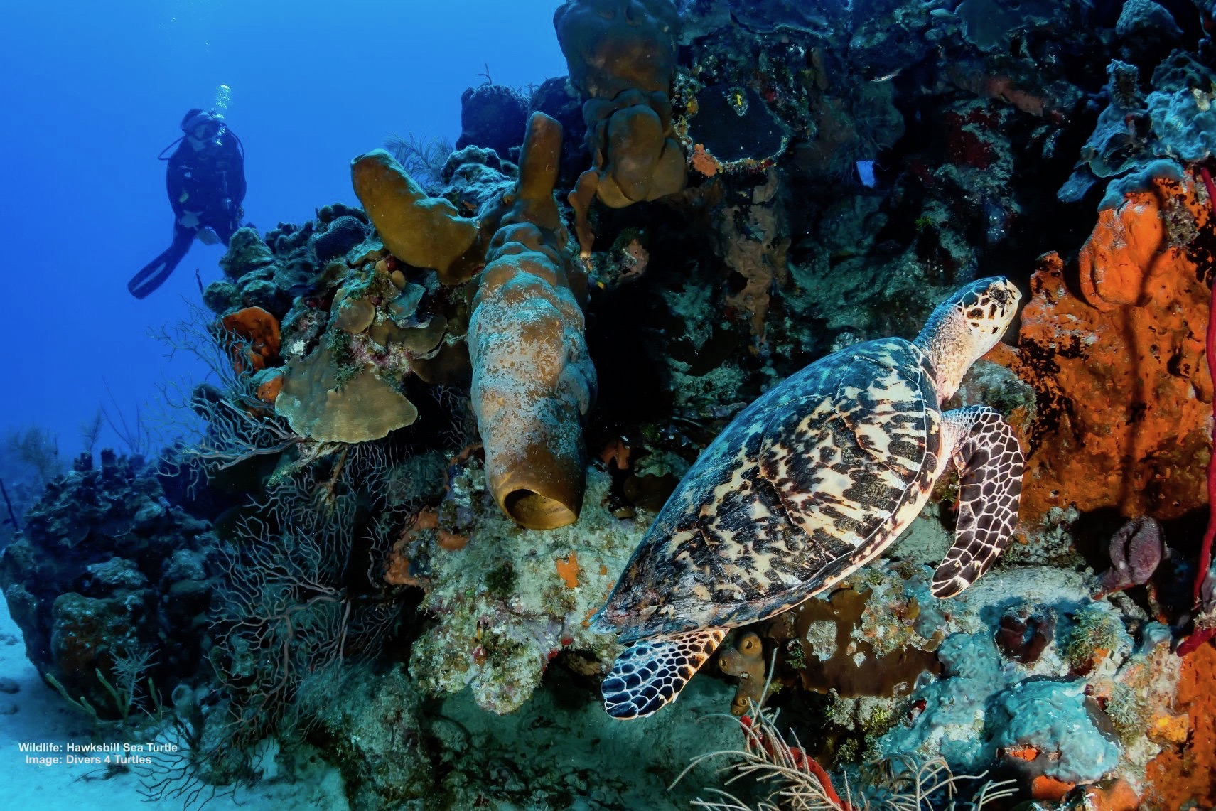 SEA TURTLES FACE MANY OBSTACLES, THE HAWKSBILL IS ESPECIALLY THREATENED BECAUSE OF ITS BEAUTIFUL SHELL USED FOR JEWELRY FOR THE TOURIST TRADE. IMAGE: ©WHITCOMBERD I DREAMSTIME.COM