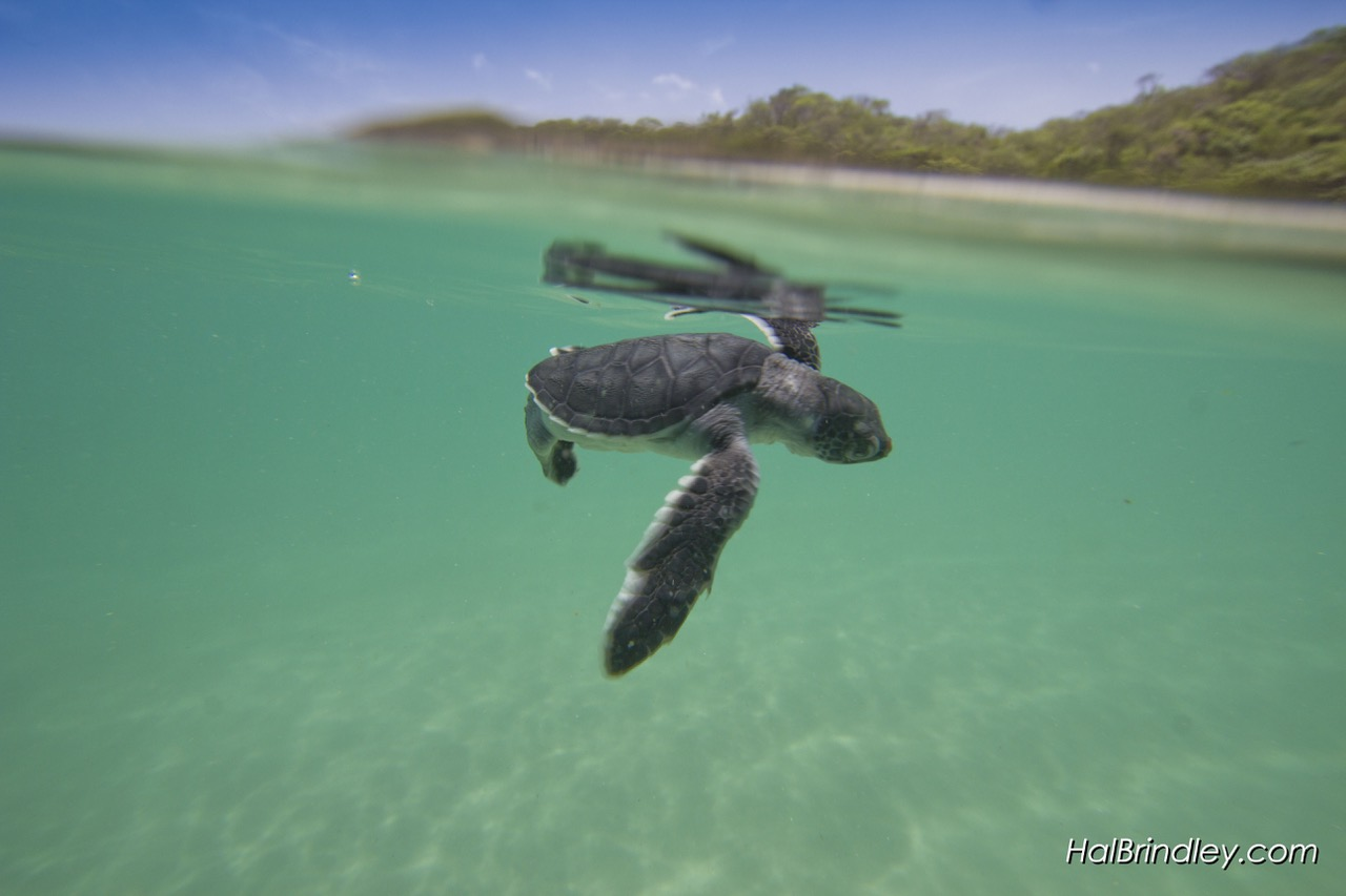 SEA TURTLE HATCHLINGS, LIKE THIS BABY HAWKSBILL, ARE HOT WIRED TO HEAD TO THE SEA, BUT LIGHT ON THE BEACH CAN SPELL DISASTER. IMAGE: ©HAl Brindley