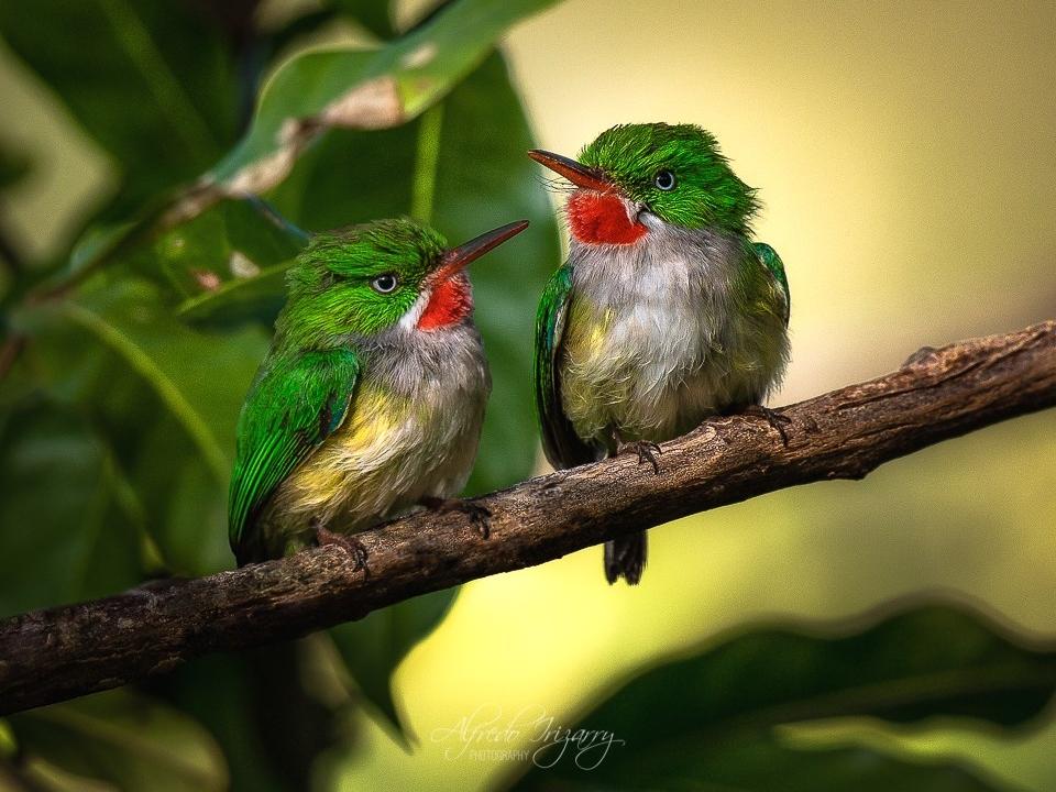 Puerto Rican Tody. Image: Alfredo Irizzary Thanks to Aves de Puerto Rico