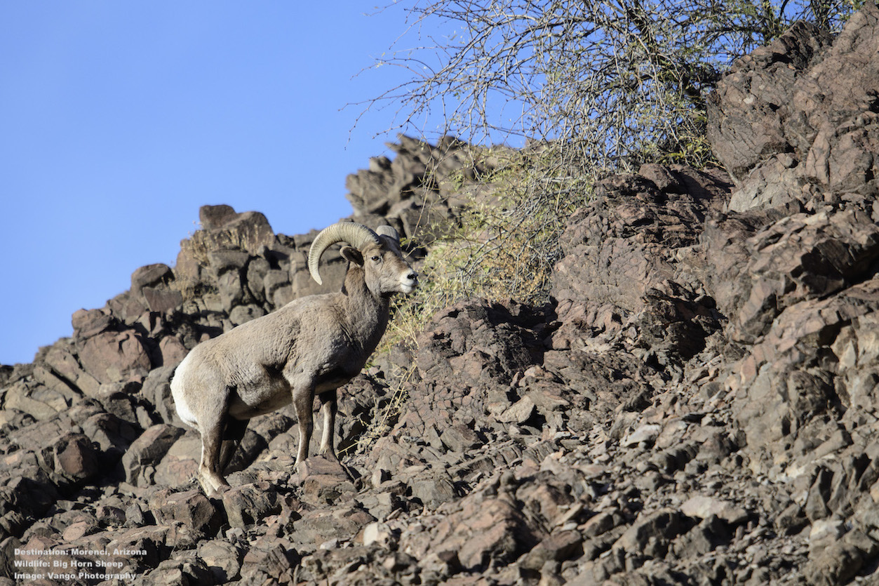 ROCLY MOUNTAIN BIG HORN SHEEP BLEND PERFECTLY INTO THE ROCK CLIFFS ALONG THE ROAD. IMAGE: ©Jorn Vangoidtsenhoven, VANGO PHOTOS.