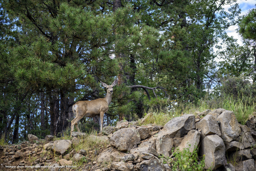 SPOTTING WILDLIFE FROM YOUR CAR WINDOW IS RELATIVELY EASY ON THE CORONADO SCENIC BYWAY. THIS DEER IS PROBABLY A  COUSE WHITETAIL  IMAGE: ©Jorn Vangoidtsenhoven, VANGO PHOTOS.