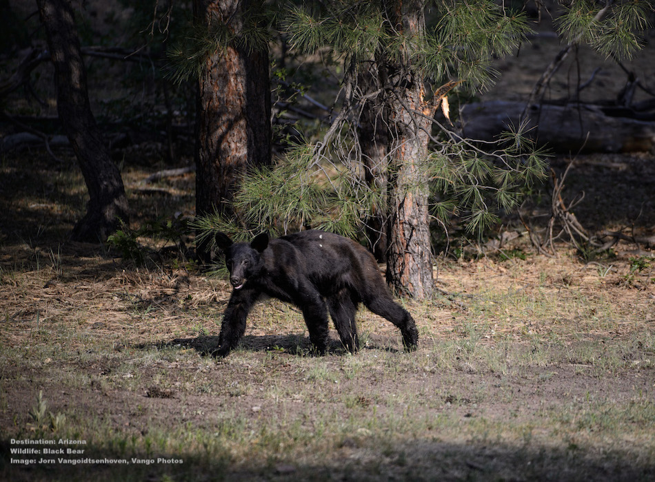 """BLACK BEAR IS ONE OF THE WILDLIFE SPECIES THAT CALL THE APACHE-SITGREAVES NATIONAL FOREST """"HOME."""" IMAGE: ©Jorn Vangoidtsenhoven, VANGO PHOTOS."""