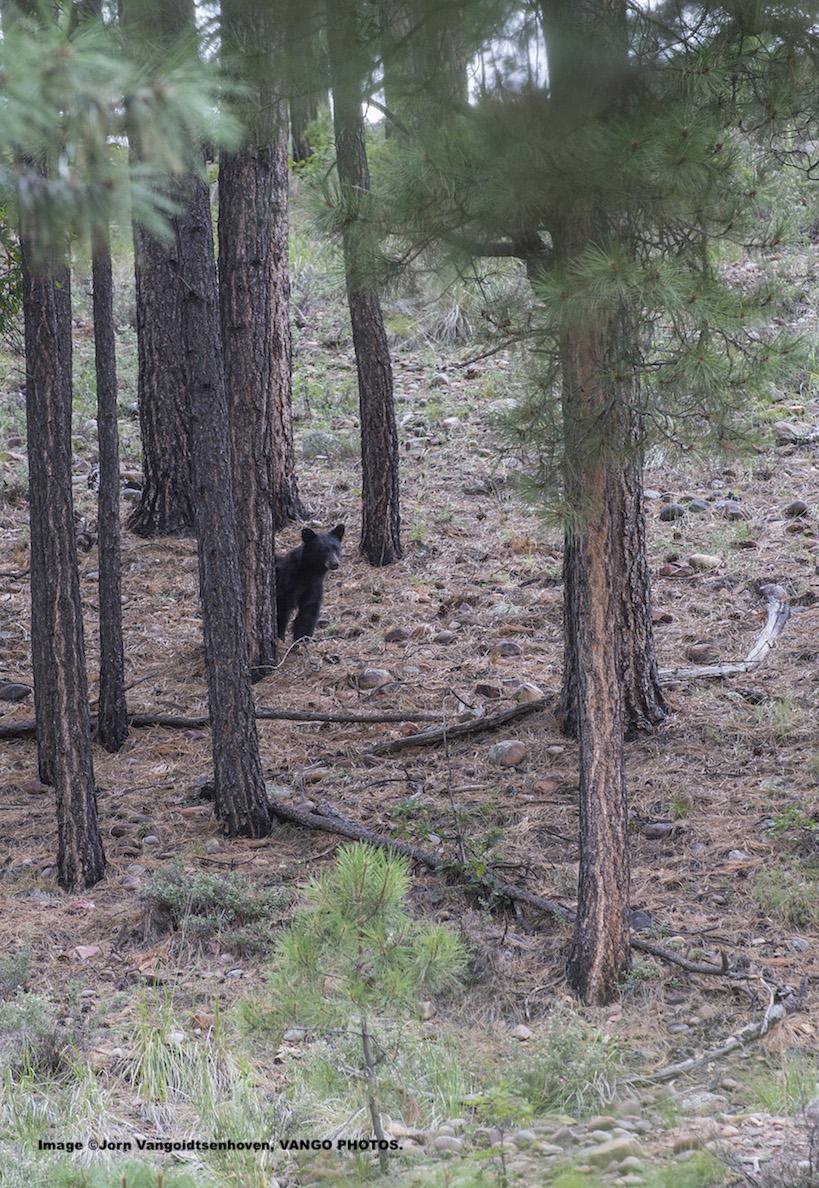 Black Bear Peaking