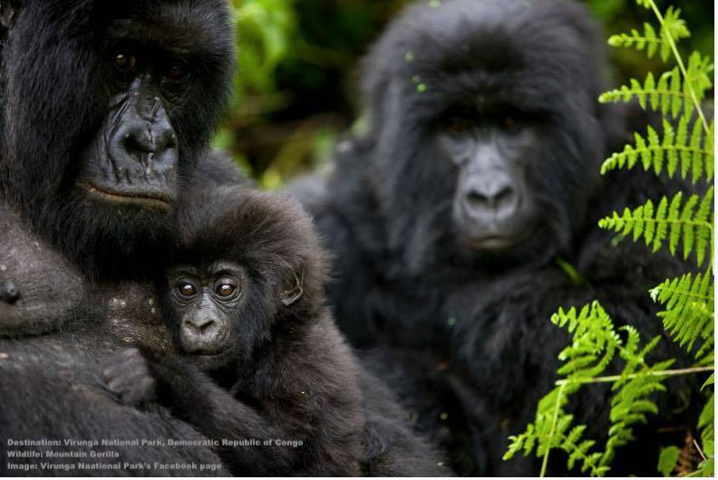 A MOUNTAIN GORILLA CUDDLES HER BABY UNDER A WATCHFUL EYE. VIRUNGA'S POPULATION OF MOUNTAIN GORILLA IS ON THE RISE THANKS TO PROTECTION FROM THE NATIONAL PARK'S RANGERS. IMAGE: VIRUNGA NATIONAL PARK FACEBOOK PAGE.