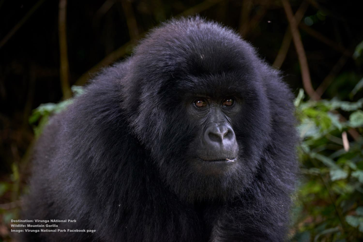 THE WORLD'S MOUNTAIN GORILLA POPULATION NUMBERED ONLY 620 INDIVIDUALS IN 1989, CONSERVATION AND HUMAN/WILDLIFE COEXISTENCE PROGRAMS HELPED THEM TO SURVIVE - SO FAR. BUT THEY AND SO MANY OTHER SPECIES ARE STILL IN DANGER, THEY NEED OUR HELP. IMAGE: VIRUNGA NATIONAL PARK FACEBOOK PAGE.