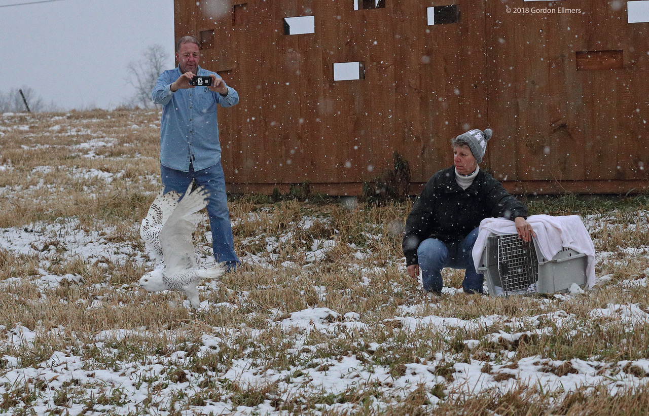 SHE IS OFF! AFTER MONTHS OF REHABILITATION THE YOUNG SNOWY OWL IS FREE AGAIN. IMAGE: ©GORDON ELLMERS & THE FRIENDS OF THE WASHINGTON COUNTY GRASSLANDS IBA