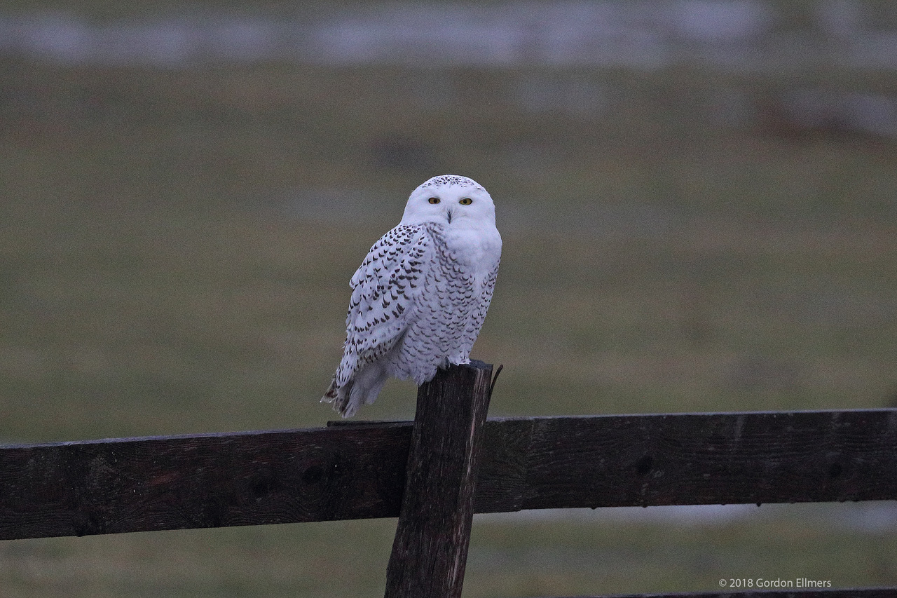 BE WISE, PROTECT OUR RESCUED AND RELEASED SNOWY OWL AND ALL WINTERING BIRDS, RESPECT THEIR SPACE, THEY HAVE WORK TO DO. IMAGE: ©GORDON ELLMERS