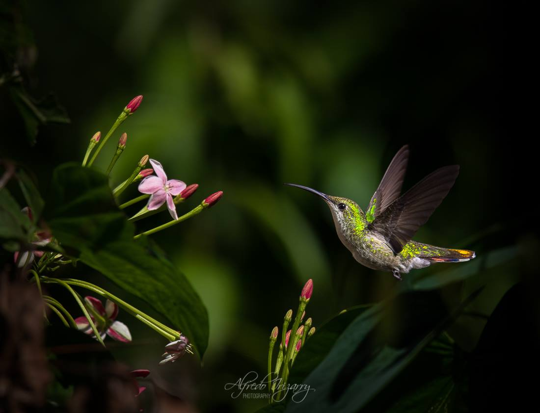 ENDEMIC TO HISPANIOLA AND PUERTO RICO, THE ANTILLEAN MANGO HUMMINGBIRD  (ANATHRACOTHORAX DOMINICUS)  FLOATS AMONG THE FLOWERS. IMAGE ALFREDO IRIZZARY