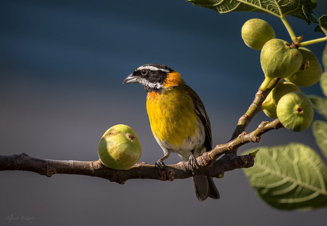 LOOK FOR ENDEMIC SPECIES, LIKE THIS PUERTO RICAN SPINDALIS, IN yuquiyu'S GARDEN.  image: ©alfredo irizarry