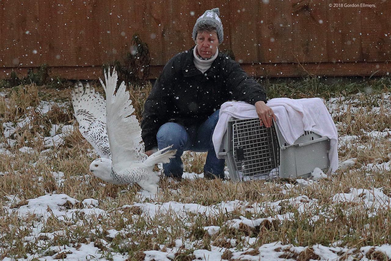 Rescued in New York, Snowy Owl is Free to Soar. Image: Gordon Ellmers