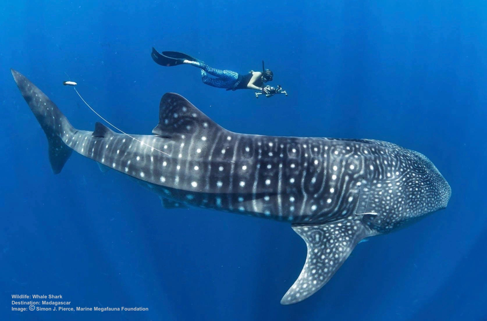 THE  MARINE MEGAFAUNA FOUNDATION  TAGS WHALE SHARKS IN AN EFFORT TO LEARN THEIR HABITS AND PROTECT THEM. IMAGE: MARINE MEGAFAUNA FOUNDATION