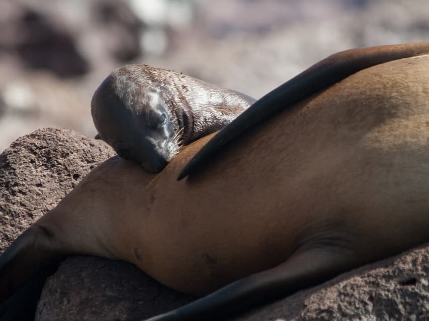 CALIFORNIA SEA LIONS BREED AND NURSE THEIR BABIES HERE ON ISLA santo ESPIR`ITU, BAJA CALIFORNIA SUR, MEXICO. IMAGE: THANKS TO RED TRAVEL MEXICO