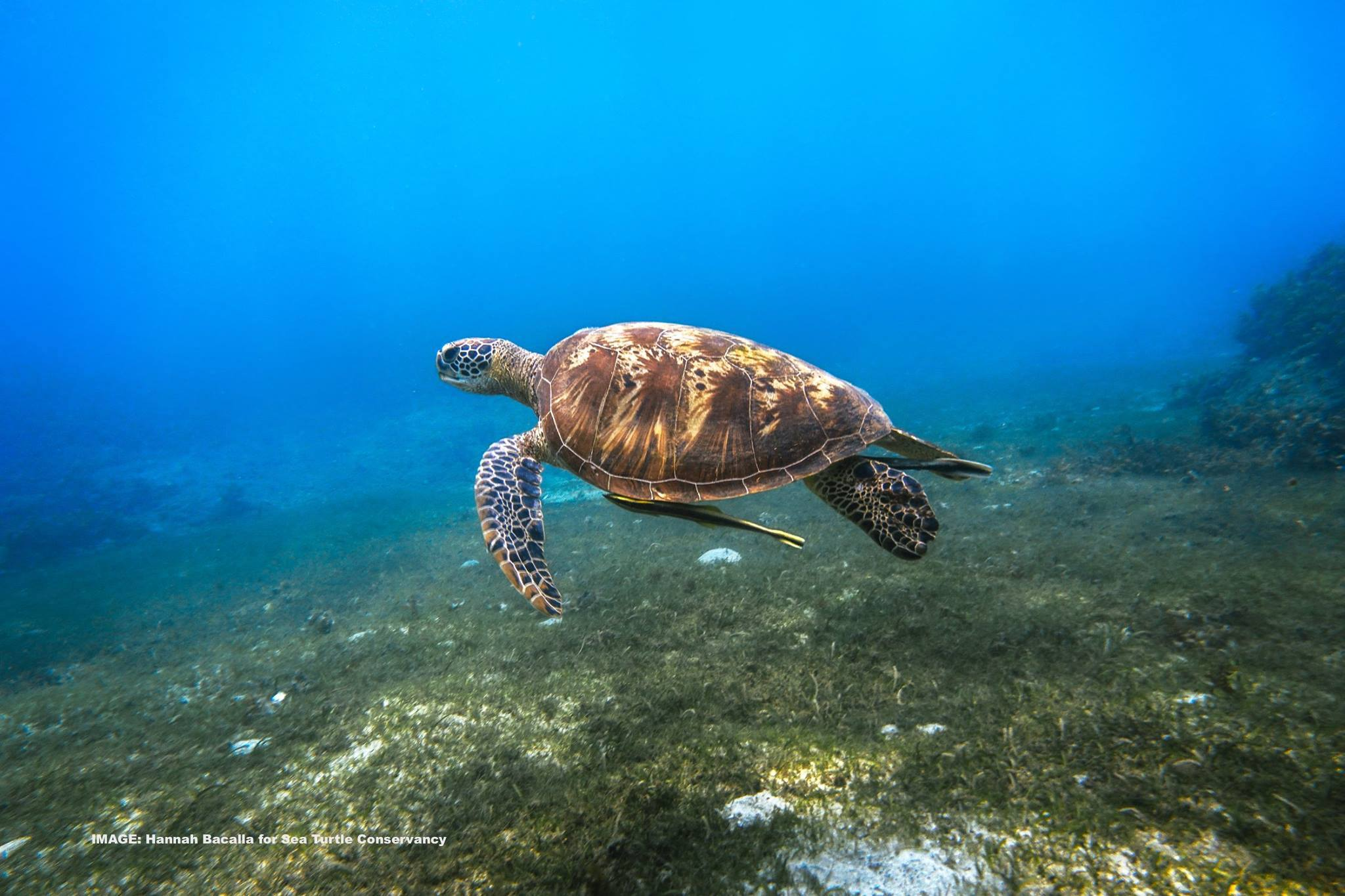 SEA TURTLES CAN SEEM AWKWARD IN COMPARISON TO SOME OF THEIR LITHE AND AGILE DEEP SEA COMPANIONS. STILL, THEY NAVIGATE THEIR OCEAN HOMES IN BEAUTIFUL FASHION. IMAGE: HANNAH BACALLA FOR  SEA TURTLE CONSERVANCY